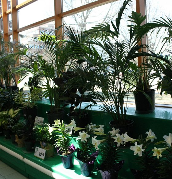 Palm plants, Easter Lilly plants and other varieties of indoor plants in the flower department